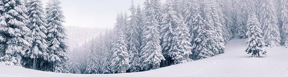 Las zasypanych śniegiem choinek