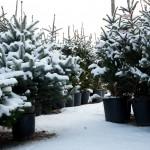 Drzewka świąteczne pokryte śniegiem w donicach